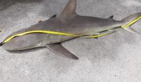Shark Poaching 1