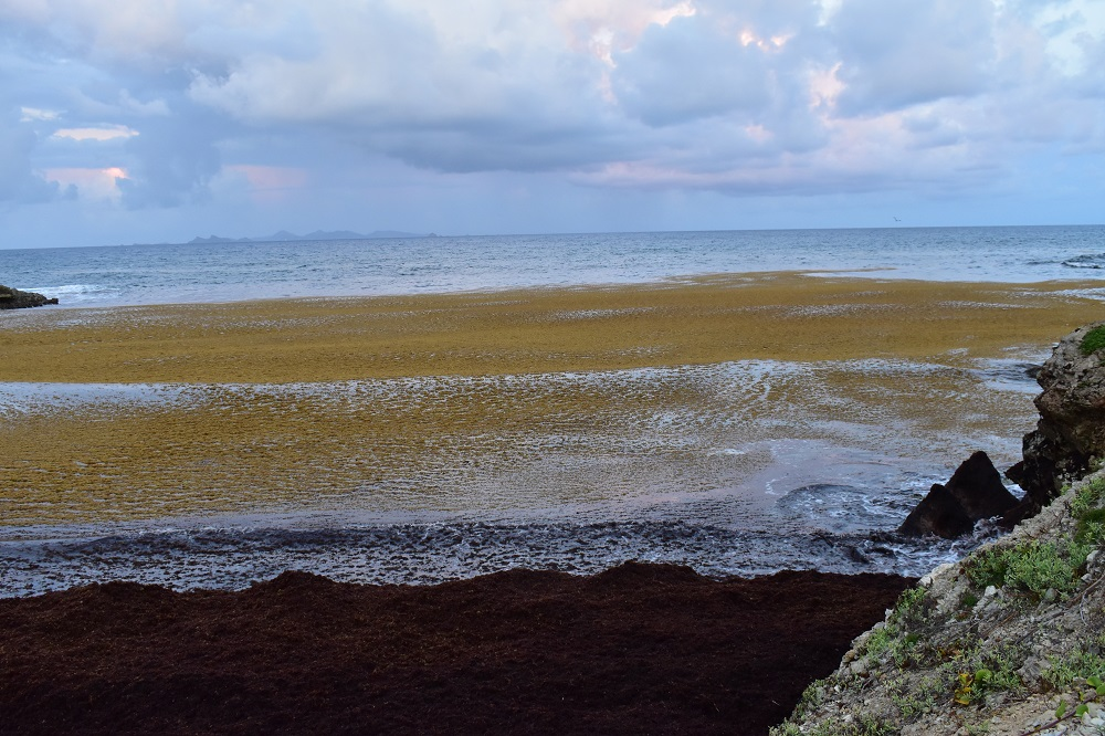 Sargassum seaweed on beach in Point Blanche - 2019070802 SA