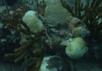 coral - Stony Coral Tissue Loss Disease Management Update for the Dutch Caribbean