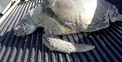 Dead sea turtle (1)