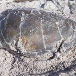 Dead sea turtle (4)
